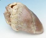 Preserved Sheep Hearts for Dissection