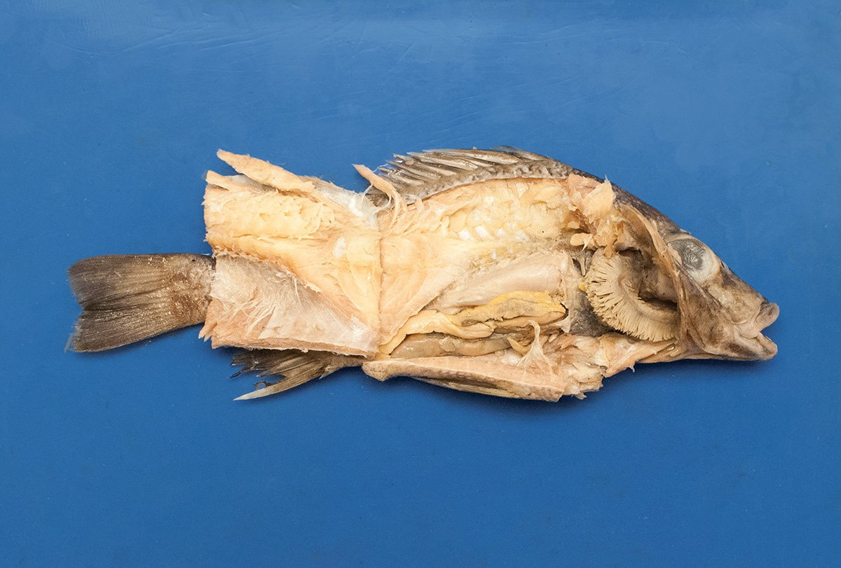 Preserved Gray Perch for Dissection in Biology and Life Science
