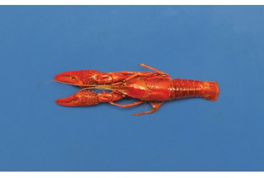 Preserved Crayfish for Dissection with Plain Vascular System