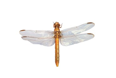Preserved Dragonfly, Nymph, Pkg. of 10
