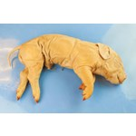 Flinn-Preferred Preserved Fetal Pigs for Dissection