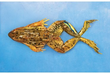 Preserved Grass Frog for Dissection
