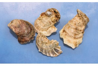 Preserved Oysters, Pkg. of 10