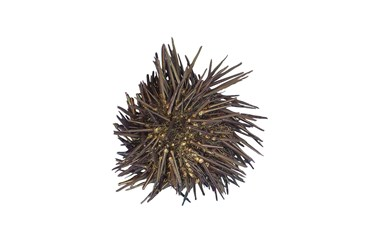 Preserved Sea Urchin, Plain, Pkg. of 10