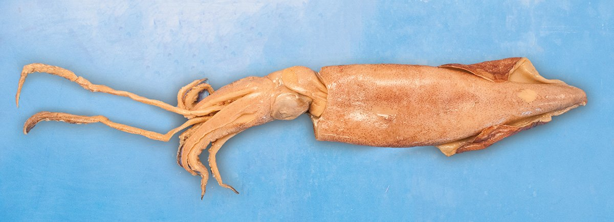 Preserved Squid for Dissection in Biology and Life Science
